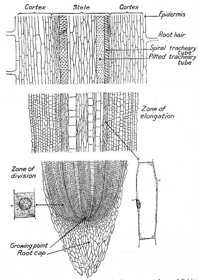 Root development of field crops chapter ii ccuart Gallery